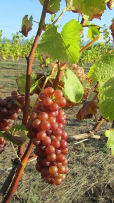 Growing grapes in Oregon 2