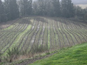 Growing wine grapes in Oregon 1