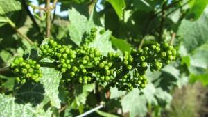 Bloom in the Vineyard 1