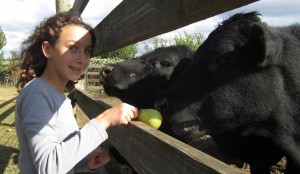 Cow Therapy On The Vineyard 1