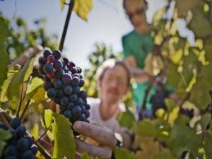 people harvesting wine grapes