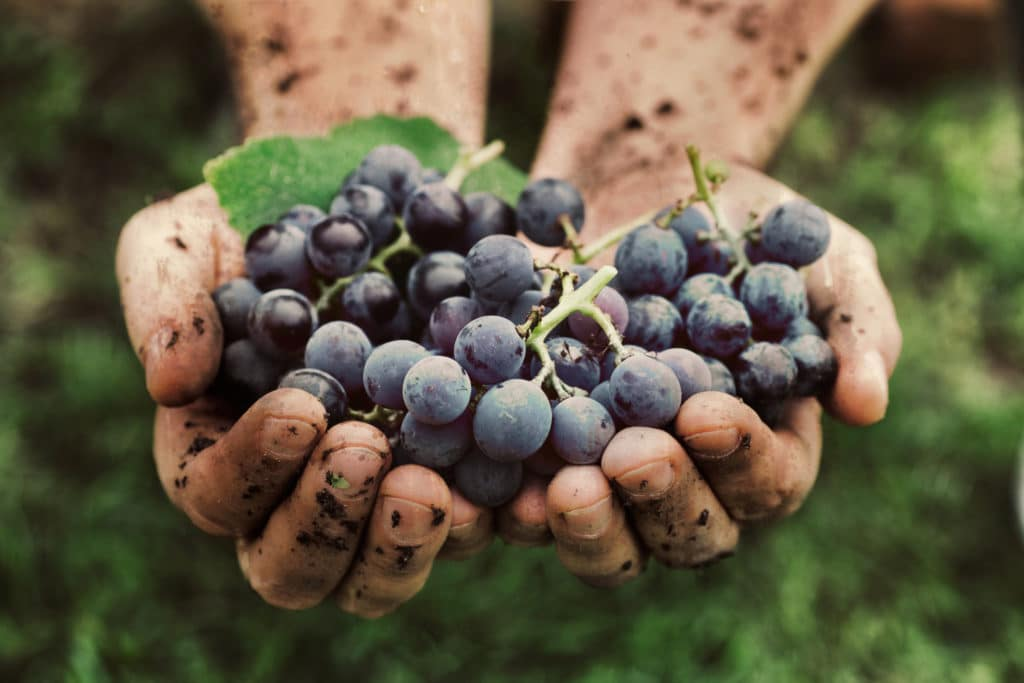 Grapes harvest best time to visit Oregon Wine Country